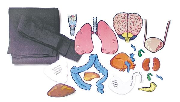 Organy Wewnętrzne Człowieka Zdjęcie Organy Wewnętrzne
