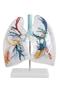 Przezroczysty model płuc