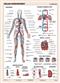 Układ krwionośny człowieka - plansza dydaktyczna