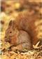 Wiewiórka - widokówka (12042)