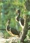 Bociany czarne - widokówka (04532)