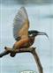 Zimorodek - widokówka