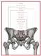 Miednica żeńska - plakat anatomiczny