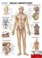 Układ limfatyczny człowieka - plakat ścienny