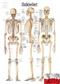 Szkielet człowieka - plakat ścienny