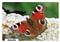 Rusałka pawik - widokówka