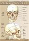Czaszka człowieka - plansza dydaktyczna