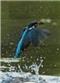 Zimorodek - widokówka (2)