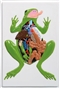 Żaba - trójwymiarowy model anatomiczny