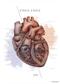 Serce - plakat anatomiczny
