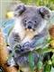 Koala – 500 elementów
