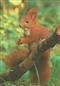 Wiewiórka - widokówka (14060)