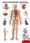 Układ krwionośny człowieka - plakat ścienny