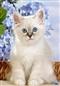 Birman kitten - Mały kotek - 120 el.