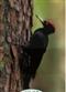 Dzięcioł czarny - widokówka
