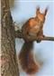 Wiewiórka - widokówka (08051)