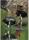 Bociany czarne - widokówka