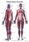 Układ mięśniowy człowieka - plansza