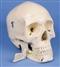 4-częściowy stomatologiczny model czaszki